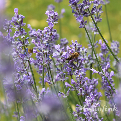 IMG_1175_Lavendel