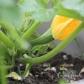 img_7251_zucchini