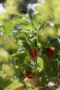IMG_0518_Erdbeere