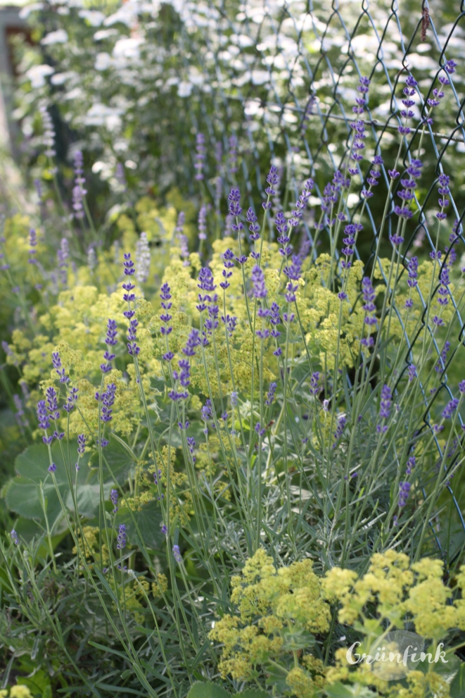 IMG_0657_Lavendel_Frauenmantel